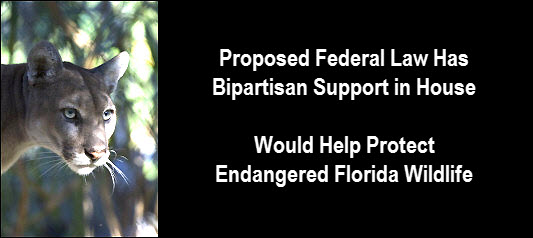 Photo of Florida Panther with copy: Proposed federal law has bipartisan support in house. Would help protect endangered Florida wildlife